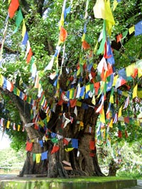 Banyans with Prayer Flags