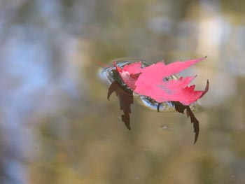 Red leaf on still water
