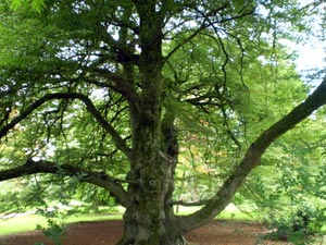 Oak Tree at FOTA